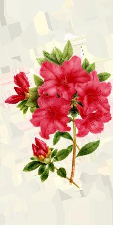 azalea-dcha-230x474