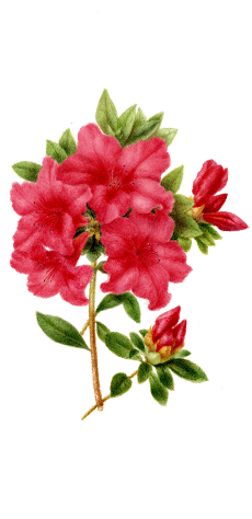 azalea-izqu-230x474